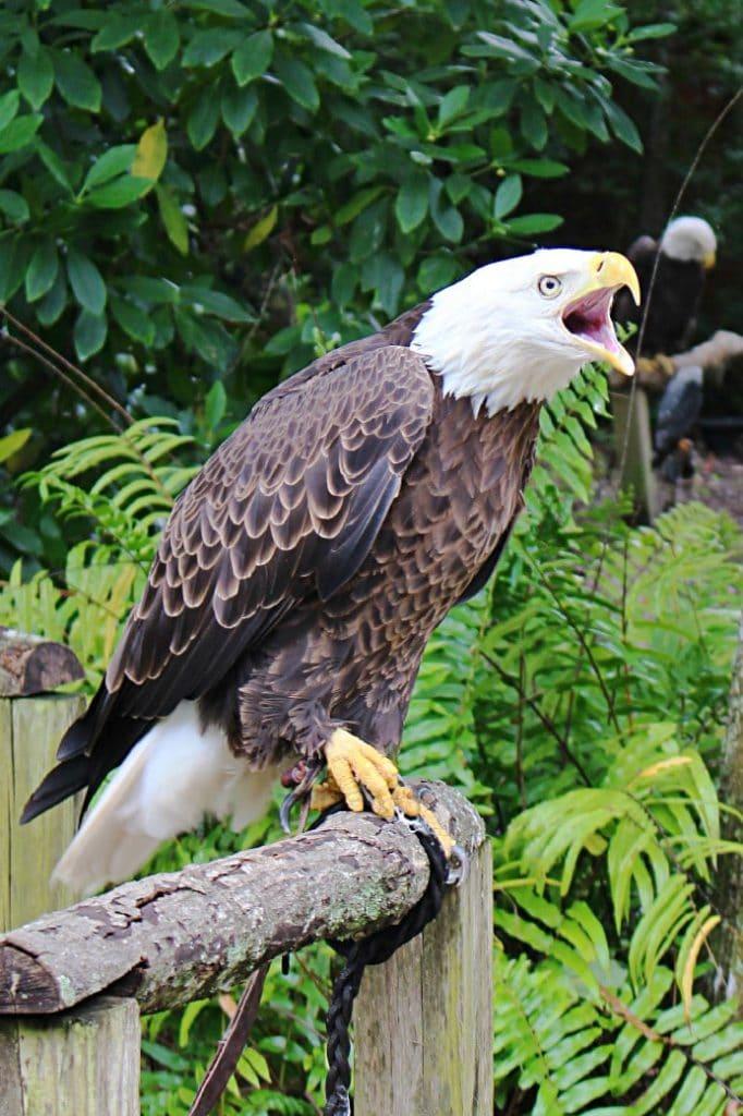 Bald Eagle Audubon Center for Birds of Prey